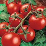 Moneymaker Tomato - ORGANIC - Heirloom Vegetable - 10 Seeds