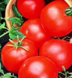 Abe Lincoln Tomato - ORGANIC - Heirloom Vegetable - 10 Seeds