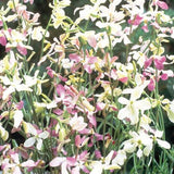 Evening Scented Stocks - Matthiola bicornis - Annual Flower - 250 Seeds