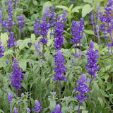 Salvia Rhea Blue - Salvia farinacea - Annual Flower - 50 Seeds