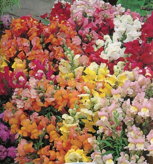 Antirrhinum Tom Thumb Mix - Antirrhinum majus pumilum - Annual Flower - 1000 Seeds