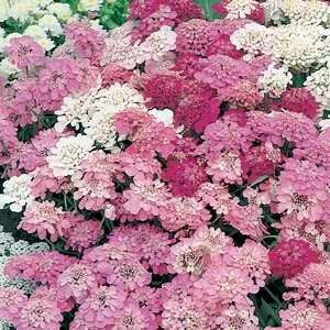 Candytuft Fairy Mix - Iberis umbellata - Annual Flower - 250 Seeds