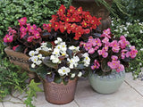 Begonia Ceres Mix - Begonia semperflorens - Annual Flower - 10 Seeds