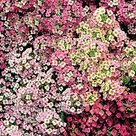 Alyssum Easter Bonnet Pastel Mix - Lobularia maritima - Annual Flower - 200 Seeds