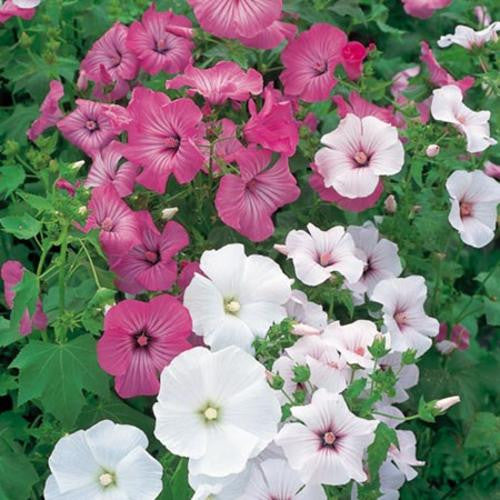 Lavatera Mix - Lavatera trimestris - Annual Flower - 100 Seeds