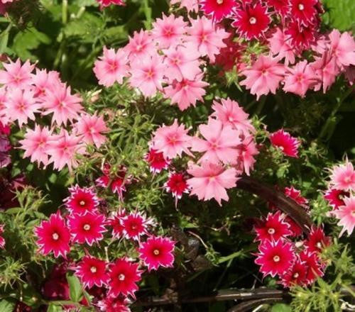 Phlox Twinkle Mix - Phlox drummondii - Annual Flower - 50 Seeds