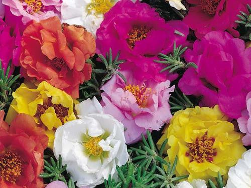 Portulaca Double Flower Mix - Portulaca grandiflora - Annual Flower - 500 Seeds
