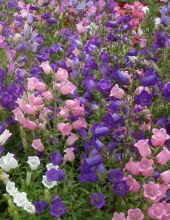 Bells of Holland - Campanula mix - Annual Flower - 500 Seeds
