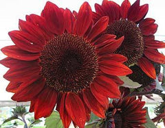 Red Sun Sunflower - Helianthus annuus - Annual Flower - 10 Seeds