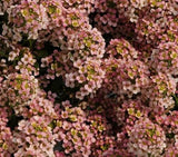 Alyssum Easter Peach - Lobularia maritima - Annual Flower - 100 Seeds