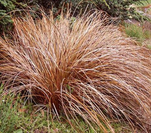 Bronze Curls Grass - Carex ssp - Ornamental Grass - 10 Seeds