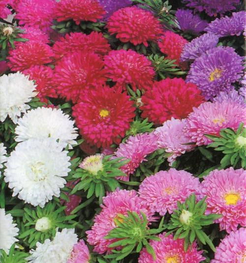 Aster Colour Carpet - Aster chinensis - Annual Flower - 100 Seeds