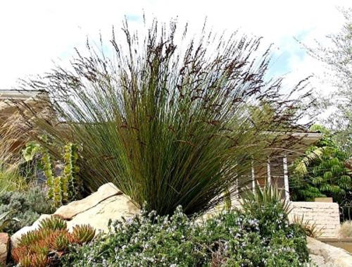 Giant cape rush ornamental grass chondropetalum for Giant ornamental grass