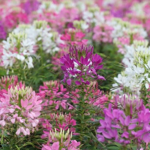 Cleome Colour Fountain Mix - Cleome hassleriana - Annual Flower - 75 Seeds