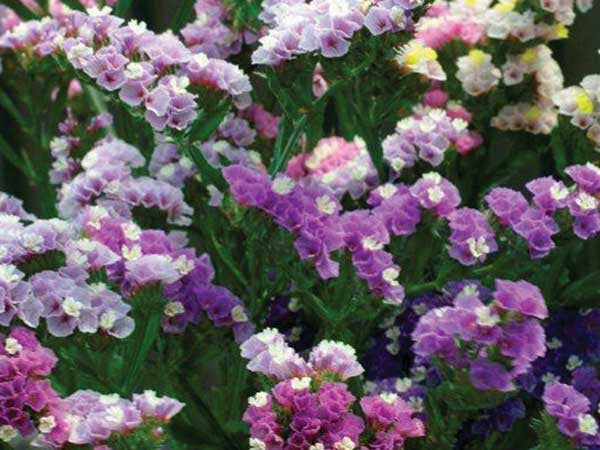 Statice Pastel Mix - Limonium sinuatum - Annual Flower - 20 Seeds