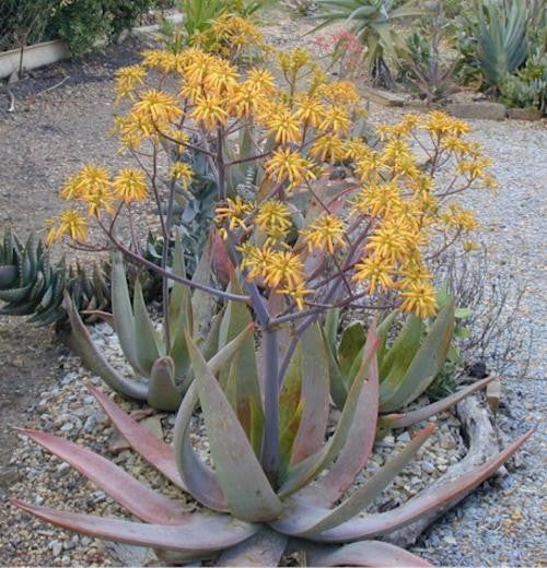 Aloe buhrii - Indigenous South African Succulent - 10 Seeds
