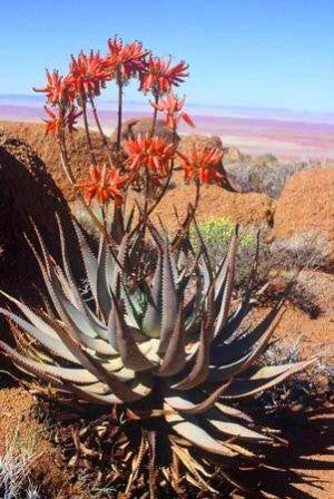 Aloe hereroensis - Indigenous South African Succulent - 10 Seeds
