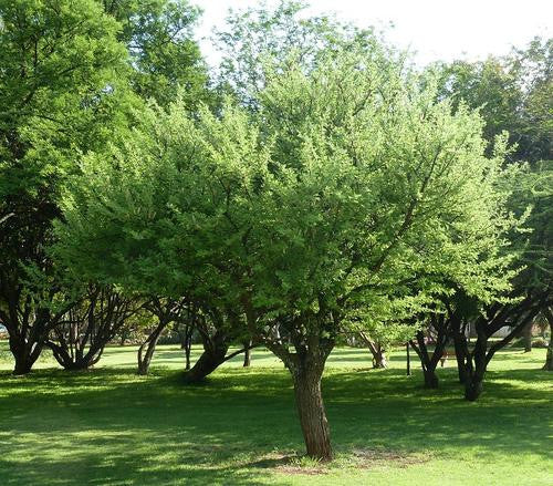 Acacia hebeclada - Indigenous South African Tree - 10 Seeds