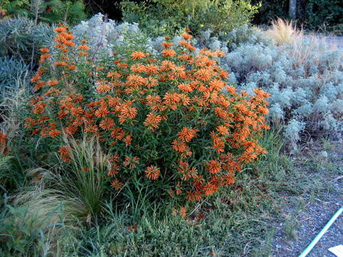 Leonotis leonurus - Indigenous South African Shrub - 10 Seeds