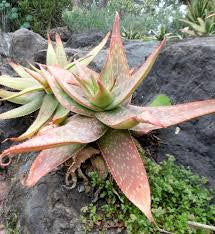 Aloe umfoloziensis - Indigenous South African Succulent - 10 Seeds