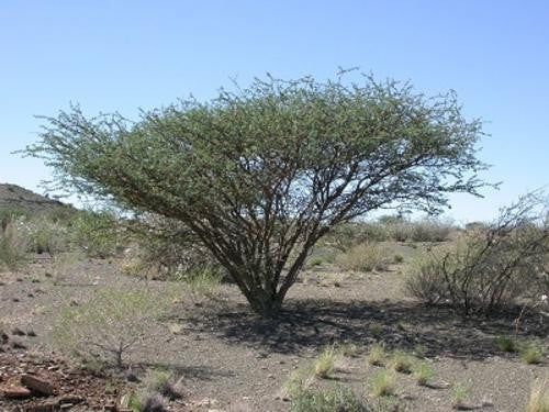 Acacia mellifera - Indigenous South African Tree - 10 Seeds