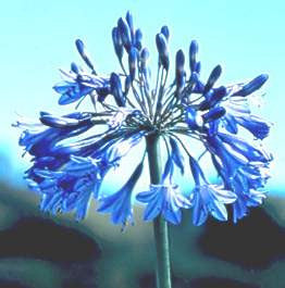 Agapanthus campanulatus - Indigenous South African Flowering Bulb - 10 Seeds