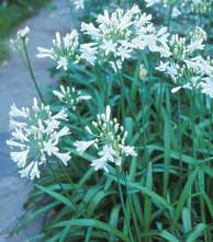 Agapanthus praecox Dwarf White - Indigenous South African Flowering Bulb - 10 Seeds