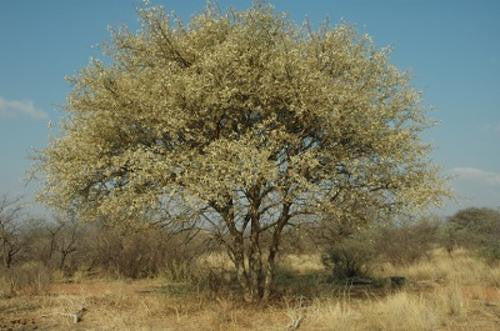 Acacia erubescens - Indigenous South African Tree - 10 Seeds