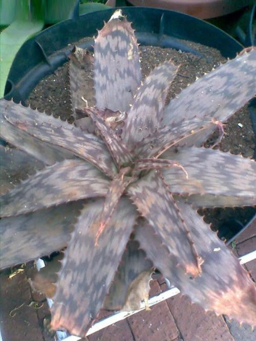 Aloe lettyae - Indigenous South African Succulent - 10 Seeds
