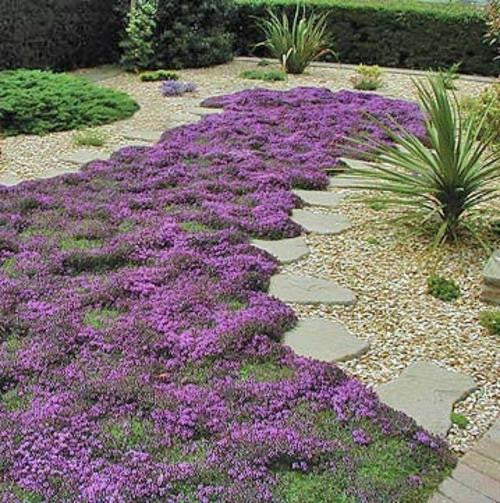 Creeping Thyme - Exotic Herb - Thymus serpyllum - 25 Seeds