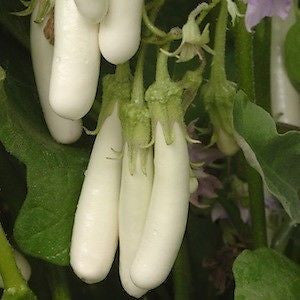 Long White Asian Eggplant - Heirloom Vegetable - Solanum melongena - 10 Seeds