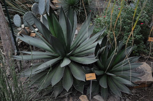 Agave ghiesbreghtii - exotic succulent - 5 seeds