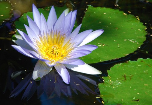 Nymphaea nouchali - indigenous water lily - 5 seeds