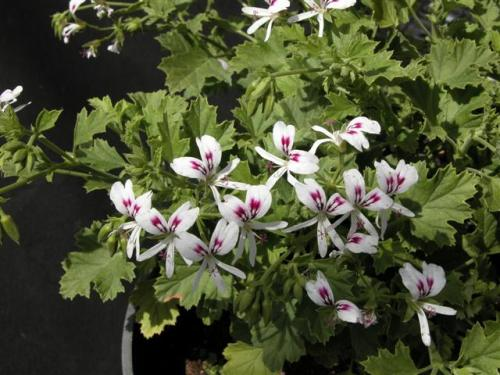 Pelargonium ribifolium - indigenous shrub - 5 seeds
