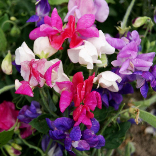 Sweetpea Cupid Mix - annual flower - 20 seeds