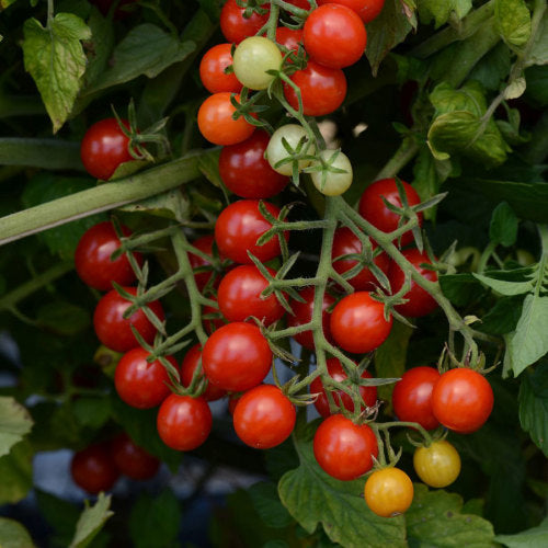 Tomato Candyland Red - Lycopersicon esculentum - container tomato - vegetable - 5 seeds