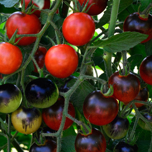 Tomato Midnight Snack - Lycopersicon esculentum - container tomato - vegetable - 5 seeds
