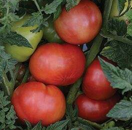 Tomato Tidy Rose - Lycopersicon esculentum - container tomato - vegetable - 5 seeds