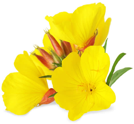 Evening Primrose - Oenothera biennis - Organic Heirloom Flowering Herb - 100 seeds