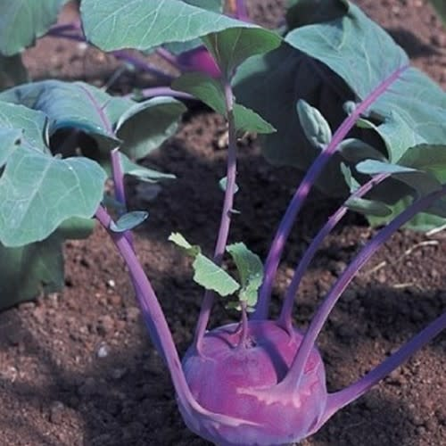 Red Azur Star Kohlrabi - Brassica oleracea gongylodes - Organic Heirloom Vegetable - 20 seeds