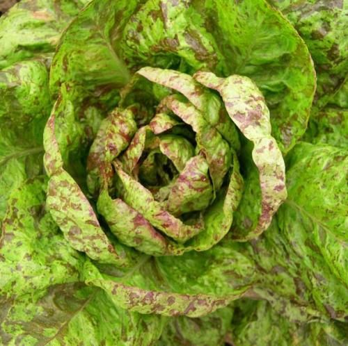 Forellenschuss Cos Lettuce - Lactuca sativa - Organic Heirloom Vegetable - 100 seeds