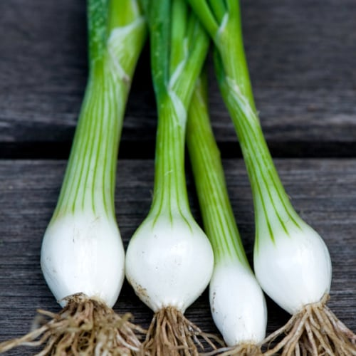 White Florence Bunching / Salad Onion - Allium cepa - Organic Heirloom Vegetable - 50 seeds