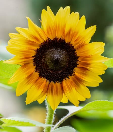 Common Sunflower - Helianthus ssp. - Organic Heirloom Annual Flower - 20 seeds