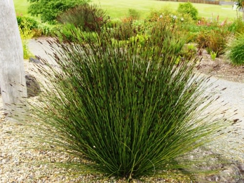 Elegia tectorum - Cape Thatching Reed / Restio / Ornamental Grass - Indigenous grass - 10 Seeds