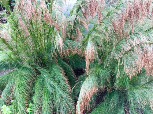 Rhodocoma capensis - Restio / Ornamental Grass - Indigenous grass - 10 Seeds