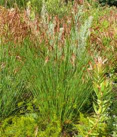 Thamnochortus lucens - Restio / Ornamental Grass - Indigenous grass - 10 Seeds