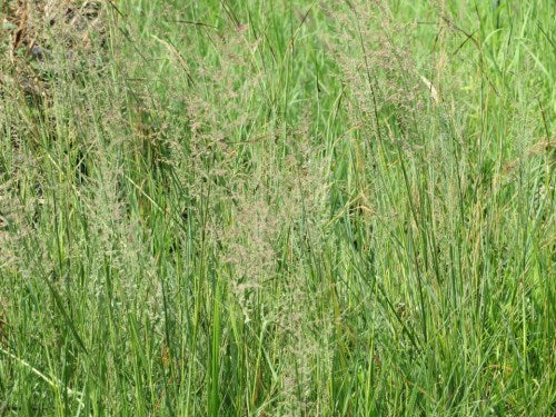 Eragrostis gummiflua - Gum Grass / Ornamental Grass - Indigenous grass - 10 Seeds