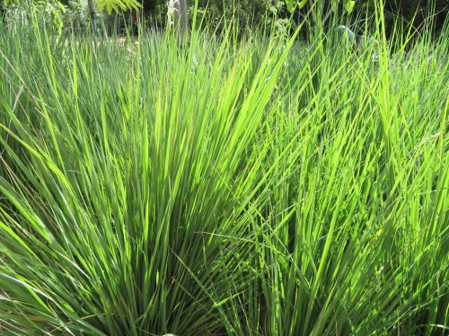 Miscanthus capensis - East Coast Boomgrass / Ornamental Grass - Indigenous grass - 10 Seeds