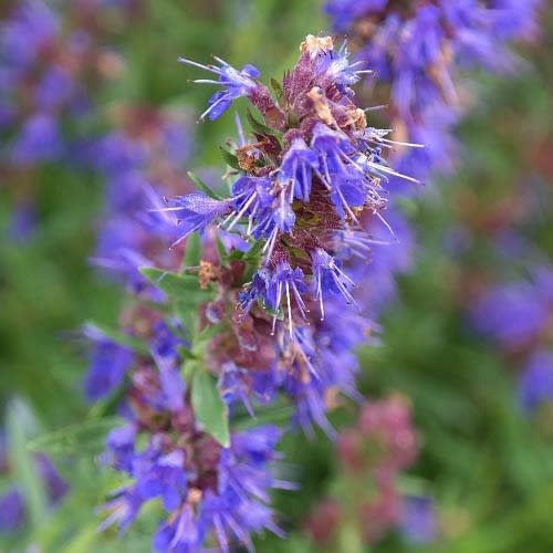 Hyssop - Hyssopus officinalis - Medicinal Herb / Plant - 20 Seeds