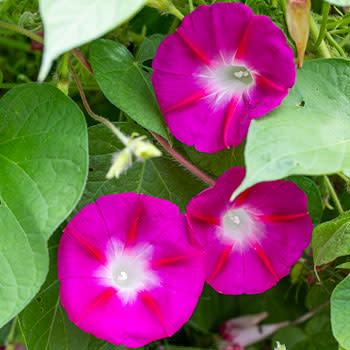 Morning Glory Crimson Rambler - Ipomoea hirsutula - Annual Flower - 5 Seeds